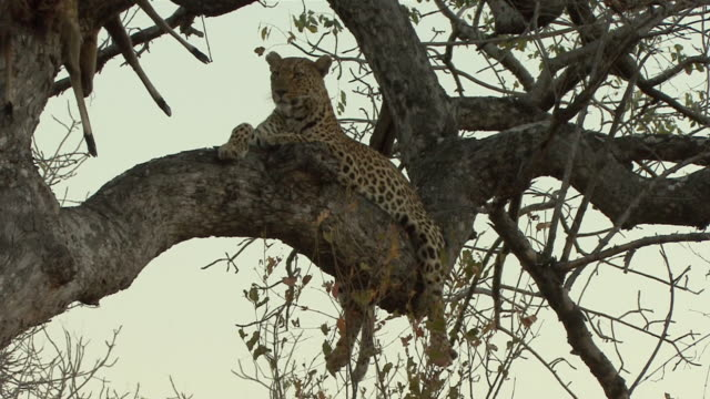 ws la african leopard (panthera pardus pardus) lying on tree branch in kruger national park / mpumalanga province, south africa - mpumalanga province stock videos and b-roll footage