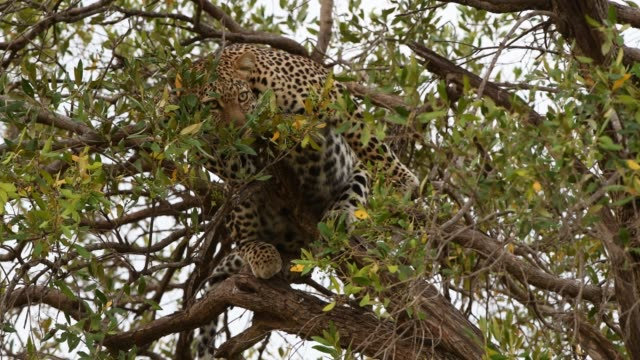 african leopard masai mara national reserve, kenya - tarnung stock-videos und b-roll-filmmaterial