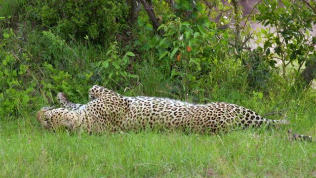 vídeos y material grabado en eventos de stock de african leopard rolling, maasai mara, kenya, africa - rodar