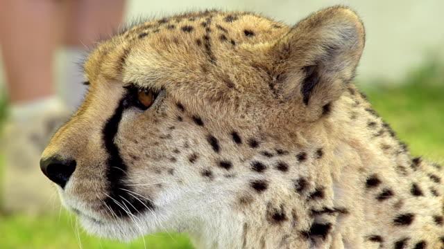 vídeos y material grabado en eventos de stock de cs leopardo africano - animal head