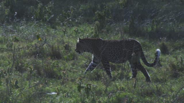 MS PAN African Leopard walking through long grass backlit