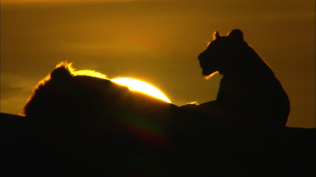 cu african lion and lioness with sun setting behind - female animal stock videos & royalty-free footage