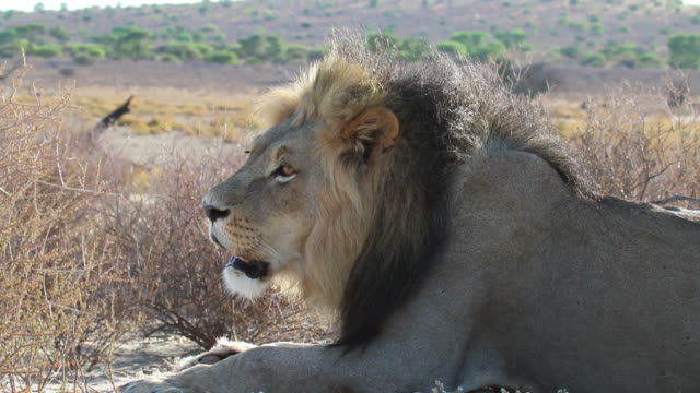 african lion, close up - lion stock videos & royalty-free footage