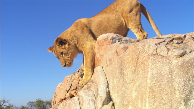 CU African lion cub climbs down rock face very close to camera