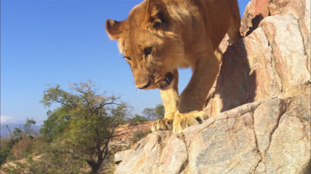 vídeos y material grabado en eventos de stock de cu african lion cub climbs down rock face very close to camera - movimiento hacia abajo