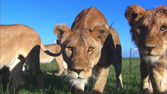 mcu african lion cub close to camera looks intently into camera then moves round it with others looking intently into lens  - young animal stock videos & royalty-free footage