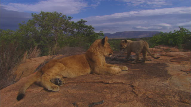 stockvideo's en b-roll-footage met ms african lion cub lying on rock greeted by 2 very young cubs who climb over it - meer dan 50 seconden