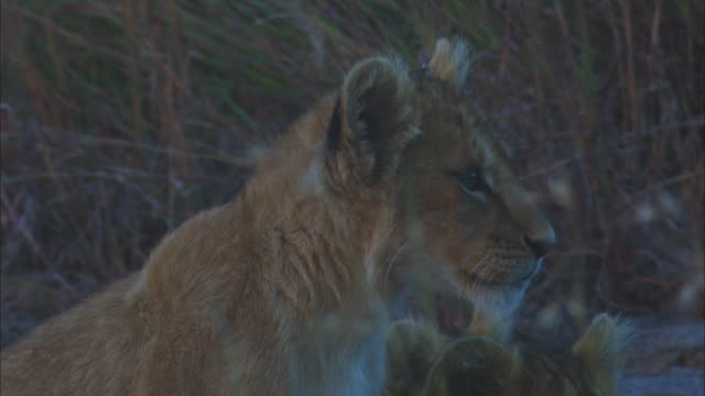 cu african lion cub on rocky outcrop zo to group and they snap to attention - outcrop stock videos & royalty-free footage