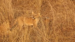 African Lion Cub Plays With Grass