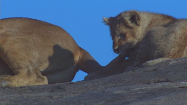 vídeos y material grabado en eventos de stock de cu african lion cub plays with tail of lioness then walks off - cuatro animales