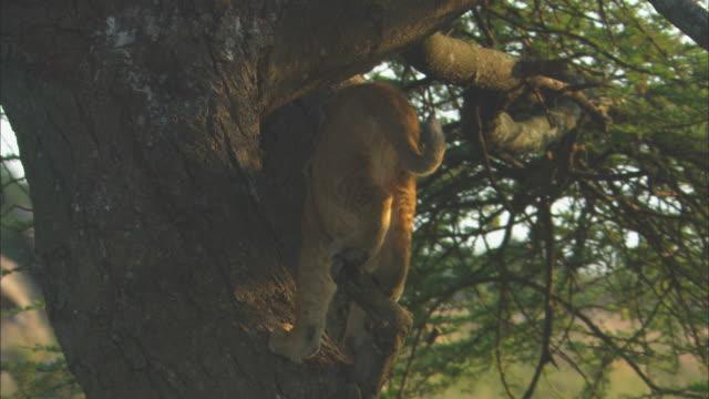 cu african lion cub scrambling in tree zo as it turns round and drops out of tree - scrambling bildbanksvideor och videomaterial från bakom kulisserna