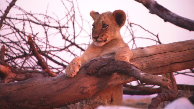 vídeos de stock, filmes e b-roll de cu african lion cub sits on bare tree looking out intently then moves off - bare tree