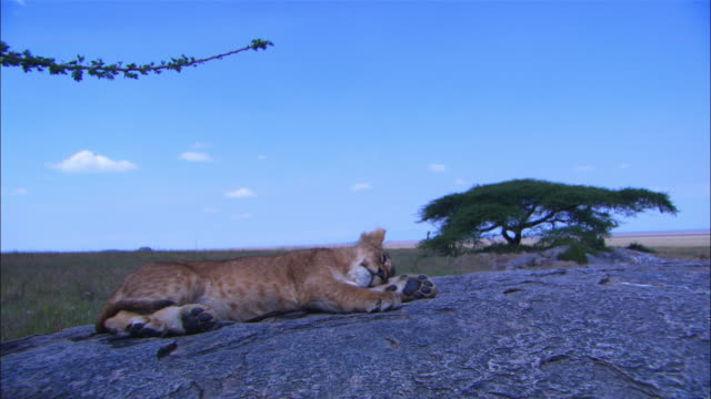 MS African lion cub sleeping blissfully on rock outcrop as second cub enters and sits on it