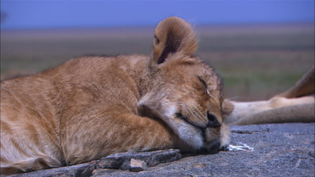 CU African lion cub sleeping blisssfully on rocky outcrop