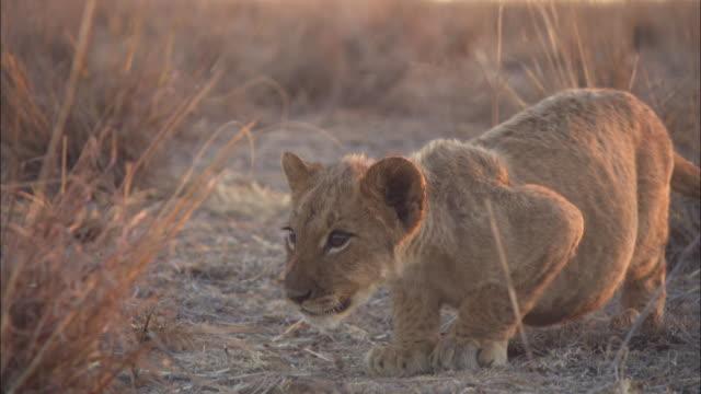 vídeos de stock, filmes e b-roll de cu african lion cub stalking then attack - espreitando