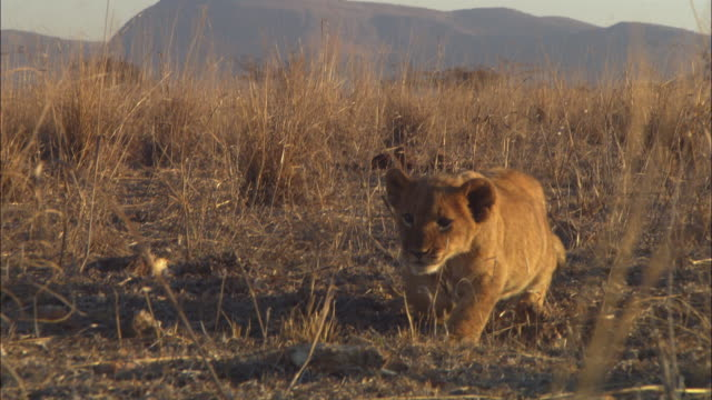 ms african lion cub stalking to camera and charging at second cub  - lion cub stock videos & royalty-free footage