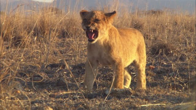 ms african lion cub standing and snarling at other cubs - lion cub stock videos & royalty-free footage