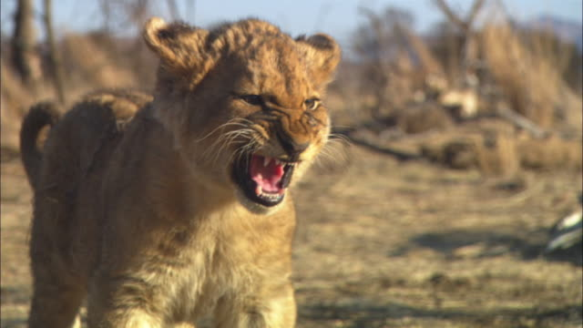 CU African lion cub standing and snarling very close to camera
