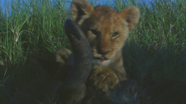 CU African lion cub trying to eat wildebeest ear PAN as it moves closer to male lion feeding on kill
