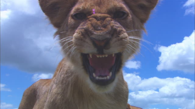 cu african lion cub very close to camerea paws at lens and snarls and second cubs walks up very close to camera - lion cub stock videos & royalty-free footage
