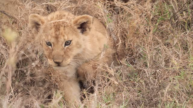 african lion cub - male animal stock videos & royalty-free footage