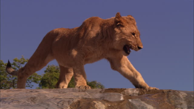 vidéos et rushes de la african lion cub walks nervously across rocky outcrop then climbs down rock face  - outcrop