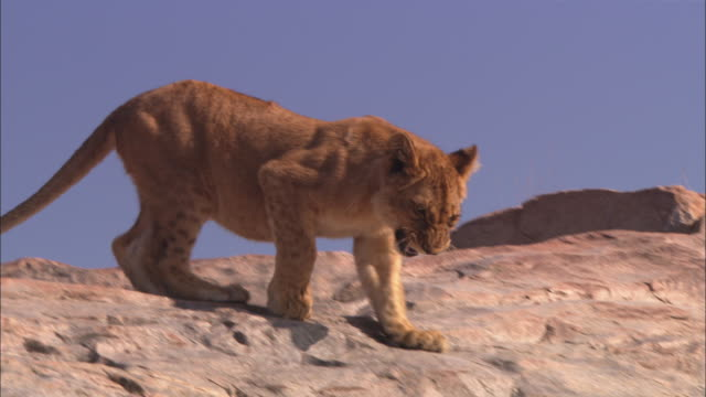 la african lion cub walks nervously across rocky outcrop then climbs down rock face  - outcrop stock videos and b-roll footage