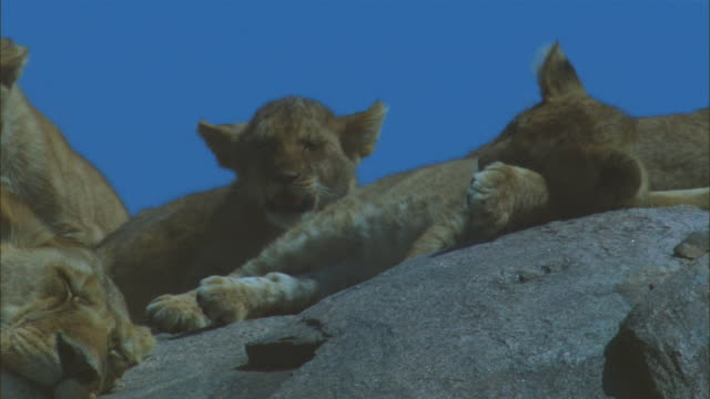 cu african lion cubs and  lionesses on top of rocky outcrop - outcrop stock videos & royalty-free footage