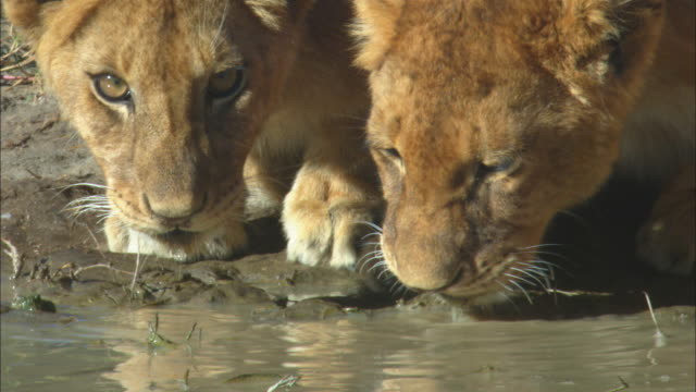 CU 2 African lion cubs drink from muddy waterhole