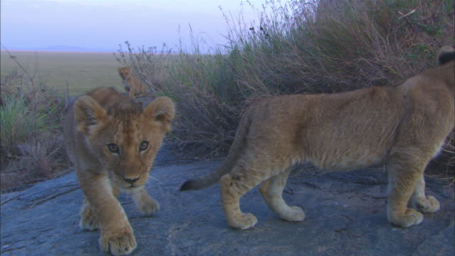 vídeos de stock, filmes e b-roll de african lion cubs explore rock outcrop and sniff at lens then walk off - fauna silvestre