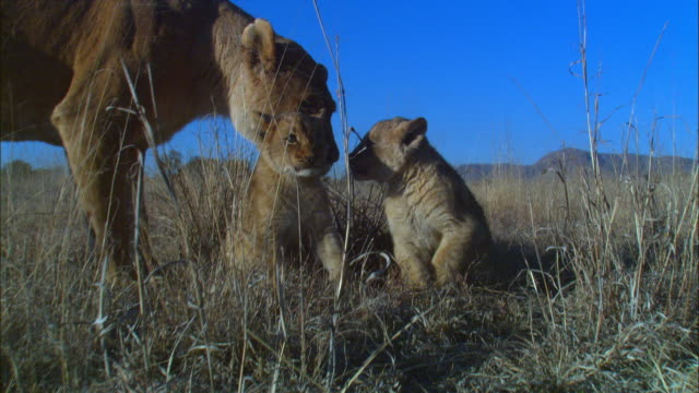 stockvideo's en b-roll-footage met 2 african lion cubs lying in long grass greeted by lioness very close to camera - kleine groep dieren