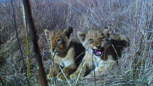 stockvideo's en b-roll-footage met 2 african lion cubs lying in long grass suckling from lioness she stands up and leaves them in the grass very close to camera - kleine groep dieren