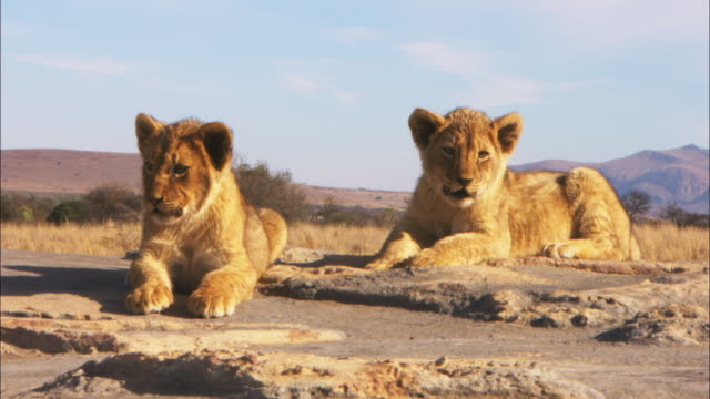 vídeos y material grabado en eventos de stock de ms african lion cubs on rock troubled by sunlight  - animales de safari