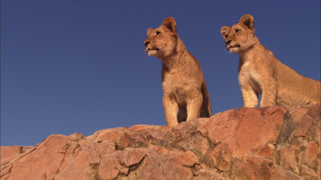 LA 2 African lion cubs on top of rocky outcrop look out intently