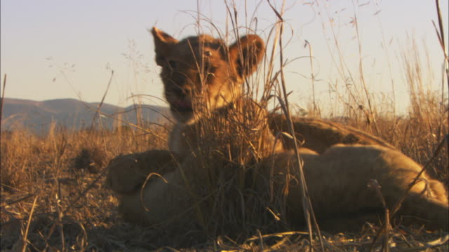 ms 2 african lion cubs play fight in evening light  - play fight stock videos and b-roll footage