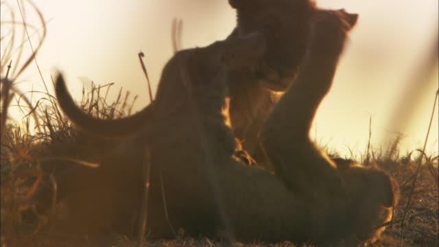 stockvideo's en b-roll-footage met cu african lion cubs play fight in evening light - kleine groep dieren