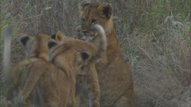 vídeos de stock, filmes e b-roll de african lion cubs play fight in long grass   - fauna silvestre