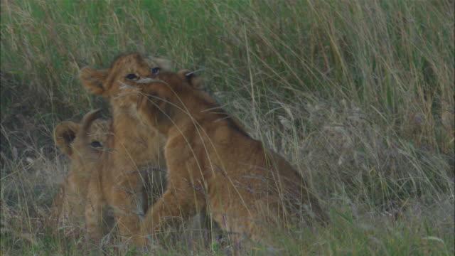 vídeos y material grabado en eventos de stock de african lion cubs play fight in long grass   - animales acechando