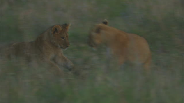 African lion cubs play fight in long grass with lioness then PAN as they fight