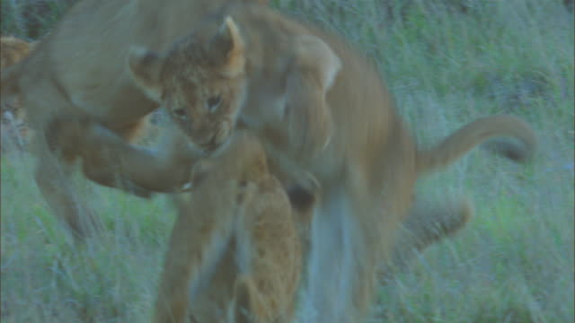 African lion cubs play fight in long grass with lioness