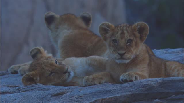 vídeos y material grabado en eventos de stock de african lion cubs play fight on rock  - animales acechando