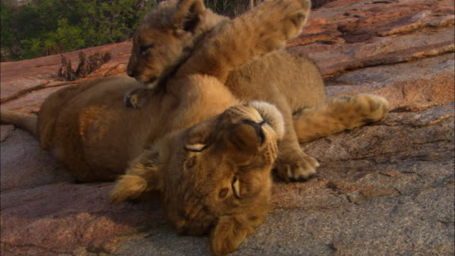 MS 2 African lion cubs play fight on rock with older cub trying to sleep