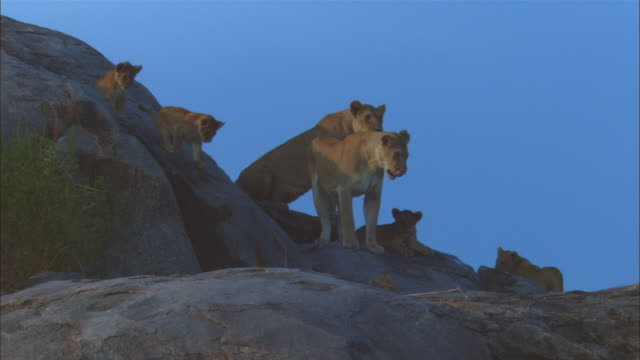 African lion cubs play on rocky outcrop with lionesses