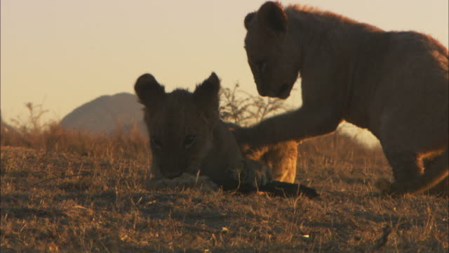 MS 2 African lion cubs play with stick and play fight in evening light