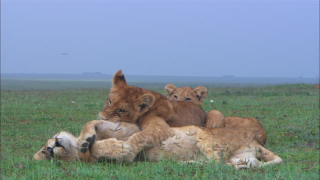 2 african lion cubs playfighting in short grass - play fight stock videos and b-roll footage