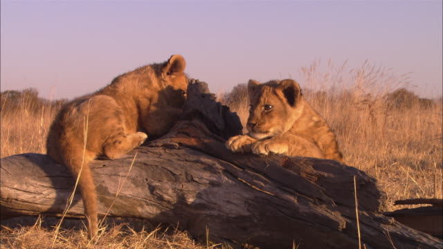 CU 2 African lion cubs playing on fallen tree trunk
