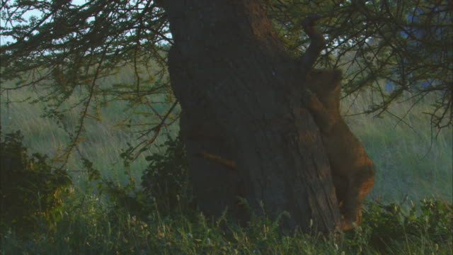 african lion cubs scramble up large tree zo - medium group of animals stock videos & royalty-free footage