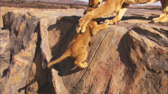 HA MS African lion cubs scramble up rock and pulled up by lioness