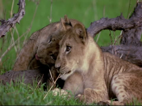 african lion cubs (panthera leo) - cu two lion cubs, lying beside each other, washing/grooming each other, mana pools, zimbabwe - repubblica dello zimbabwe video stock e b–roll
