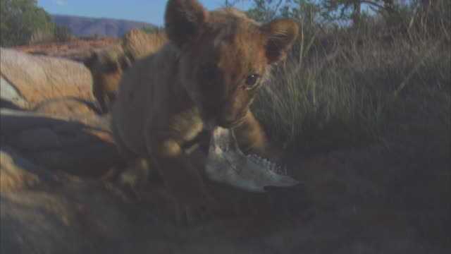 african lion cubs very close to camera play with bone on rocky outcrop - outcrop stock videos & royalty-free footage